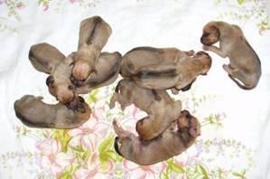 http://r-ridgeback.narod.ru/puppy190510.files/image013.jpg