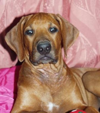 http://r-ridgeback.narod.ru/puppy190510.files/image088.jpg