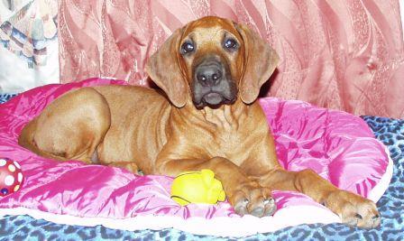 http://r-ridgeback.narod.ru/puppy190510.files/image090.jpg