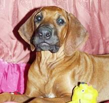 http://r-ridgeback.narod.ru/puppy190510.files/image093.jpg