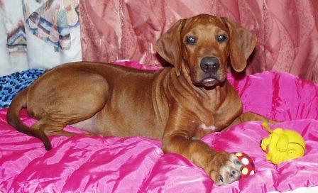 http://r-ridgeback.narod.ru/puppy190510.files/image096.jpg