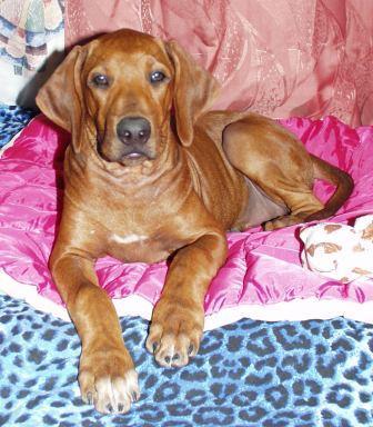 http://r-ridgeback.narod.ru/puppy190510.files/image098.jpg