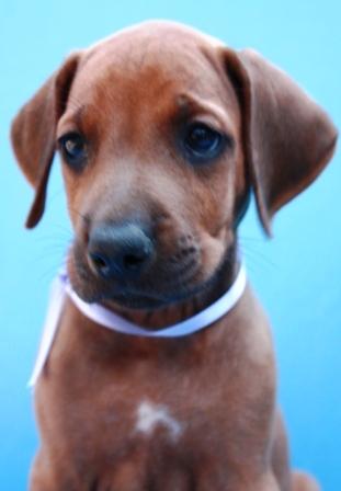 http://r-ridgeback.narod.ru/puppy190510.files/image108.jpg
