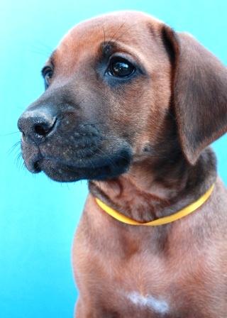 http://r-ridgeback.narod.ru/puppy190510.files/image134.jpg